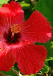 bright red tropical flower hibiscus picture