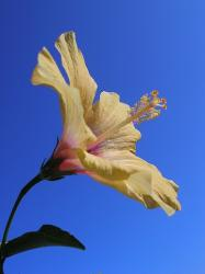 light hibiscus flower pic