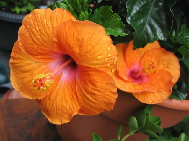 Photograph of shiny orange hibiscus flowersOrange Hibiscus Flowers