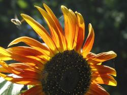orange stripes sunflower.jpg