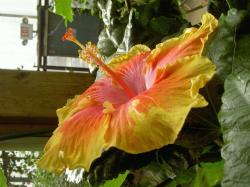 yellow orange hibiscus flower picture