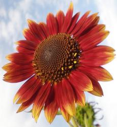 orange red sunflower picture.jpg