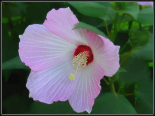 light pink white hibiscus flower photo
