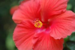 hibiscus flower in red color