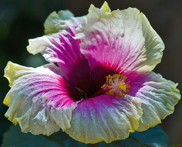 white hibiscus flower with purple pink eye Hi-Res 720p HD