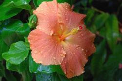peach hibiscus flower photo