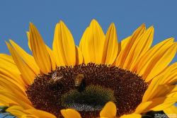 picture of a sunflower.jpg