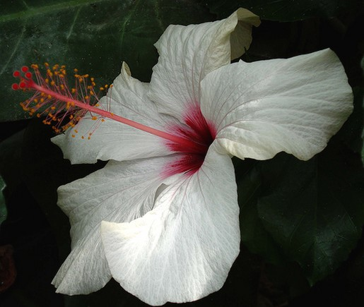 White Hibiscus Flower With Bright Pink Eye