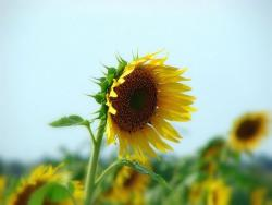 pics of sunflower.jpg