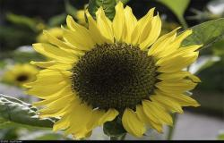 pic pretty sunflower.jpg