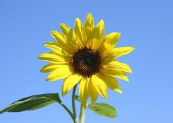 photo of s sunflower.jpg