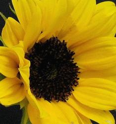 photo of beautiful sunflower.jpg