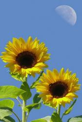 per of sunflowers.jpg