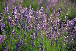 lavender field pictures.jpg