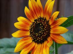 orange yellow sunflower.jpg
