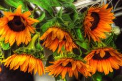 orange sunflowers.jpg