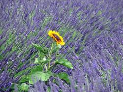 lavender flowers with a sunflower in the middle.jpg