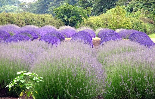 lavender flowers [p. ], Beautiful flower