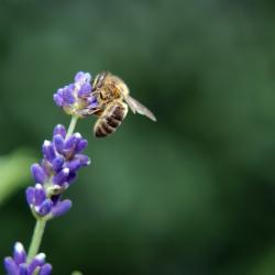 lavender flower with bee picture.jpg