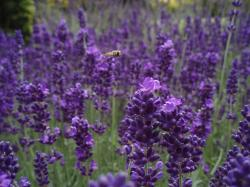 purple flowers field with lavenders and one bee.jpg