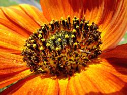 orange sunflower.jpg