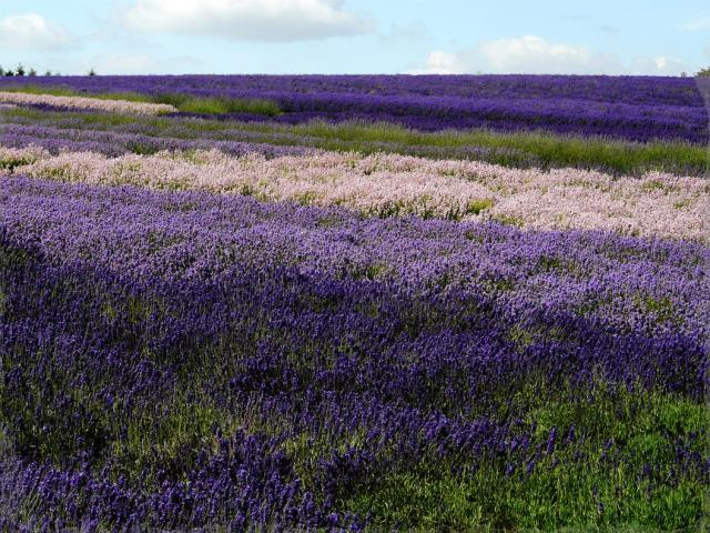 beautiful purple flowers field picture.jpg