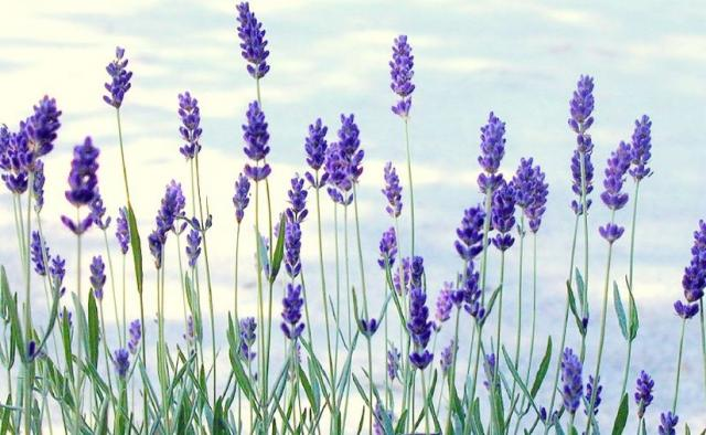 lavender flowers  flower border, Beautiful flower