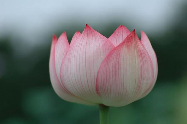 Asian flower lotus in pink and white.jpg