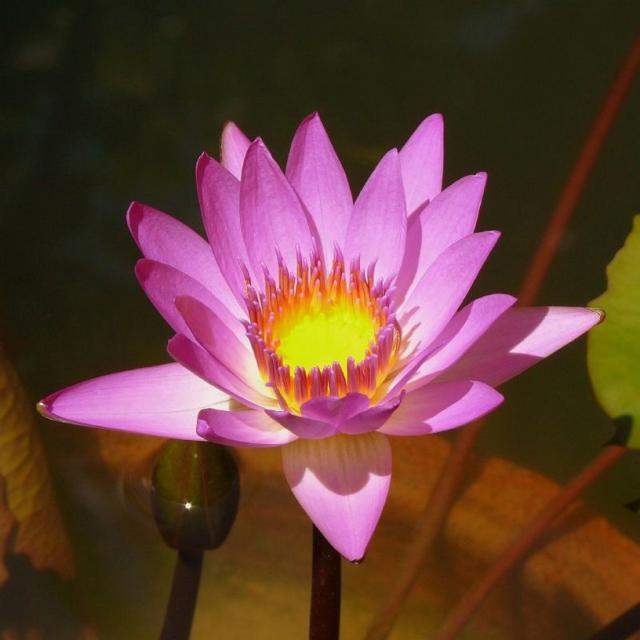 Asia Lotus
