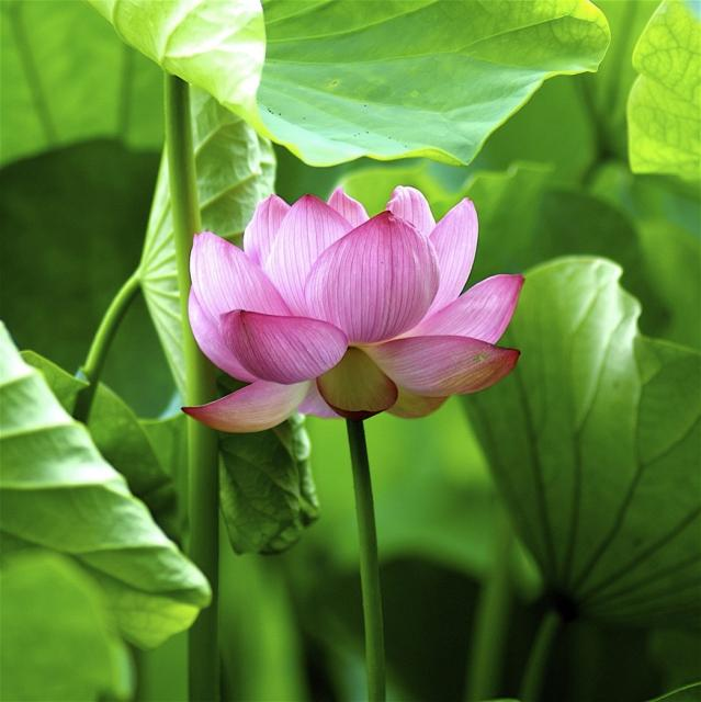 Asian flowers lotus in pink.jpg