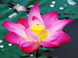 beautiful bright pink lotus.jpg