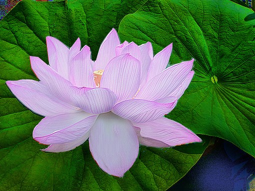 light purple lotus flower, Beautiful flower