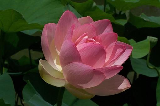 Lotus Flowers Gallery P 2