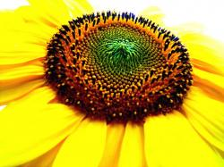 rich yellow sunflower.jpg