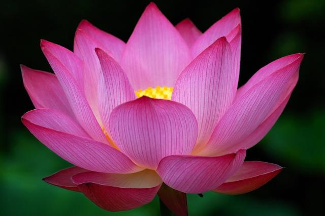 big dark pink lotus flower photo  comments hires p hd, Natural flower