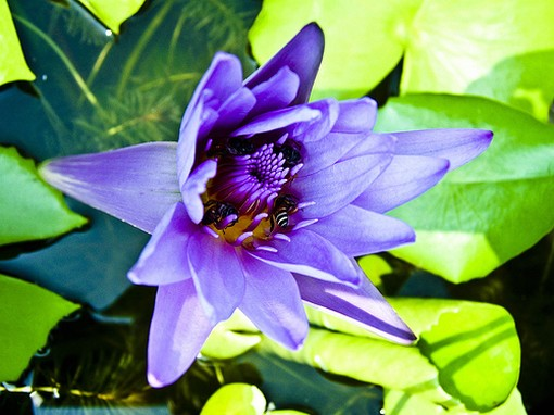blue lotus flower.jpg