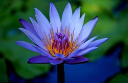 blue lotus flower photo.jpg