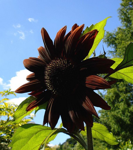 redish brown sunflower.jpg
