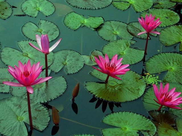 bright colorful lotus in the pond.jpg Hi-Res 720p HD
