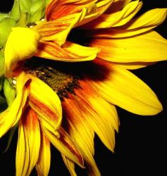 red striped yellow sunflower.jpg