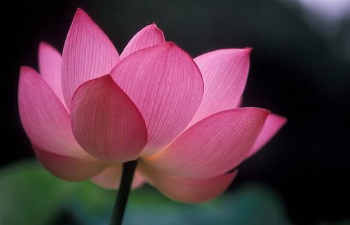 Dark pink flower picsg mightylinksfo