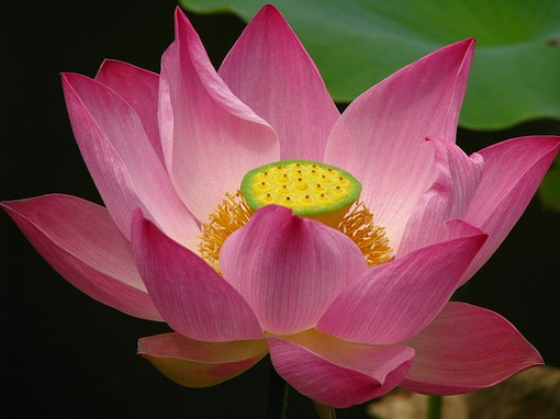dark pink lotus with yellow center.jpg