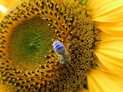 purple bee on a big sunflower.jpg