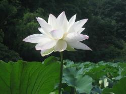 flower of lotus.jpg