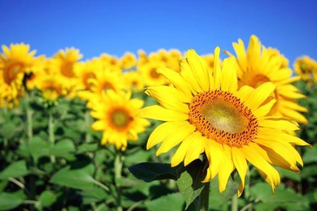 Pretty Yellow Sunflowers Jpg