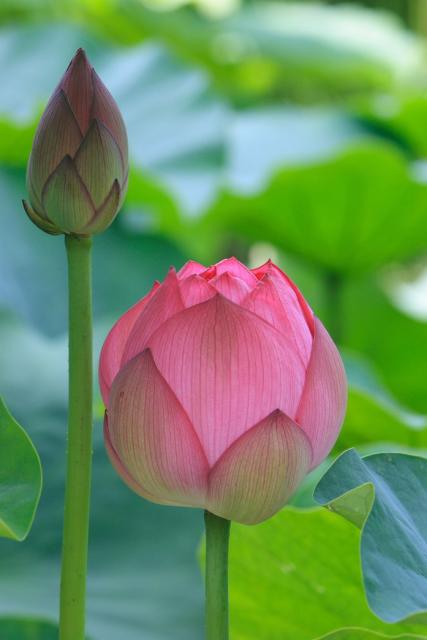 indian lotus flowers picture hires p hd, Beautiful flower