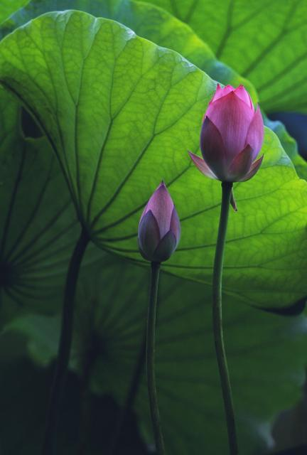 japanese lotus flower and bud hires p hd, Natural flower