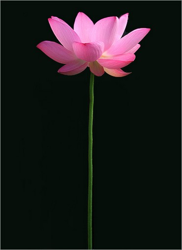 lotus flowers gallery  photos, Beautiful flower
