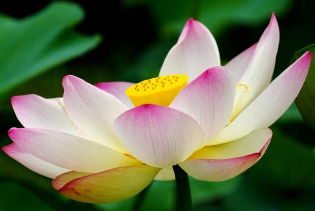 lotus blossom flower  comment hires p hd, Natural flower