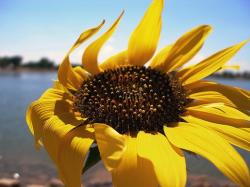 pictures of sunflower.jpg